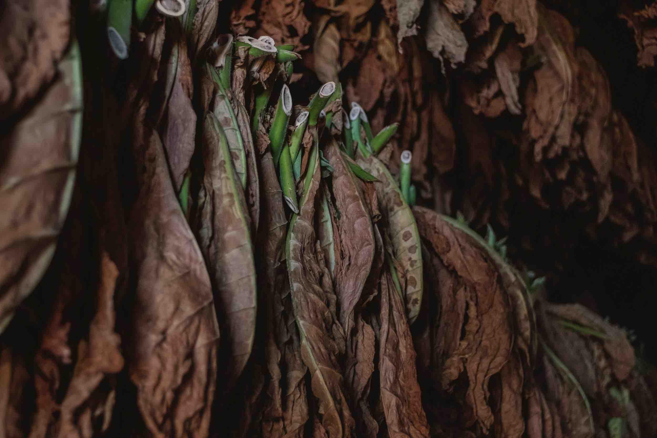 Trocknung von Tabakblättern