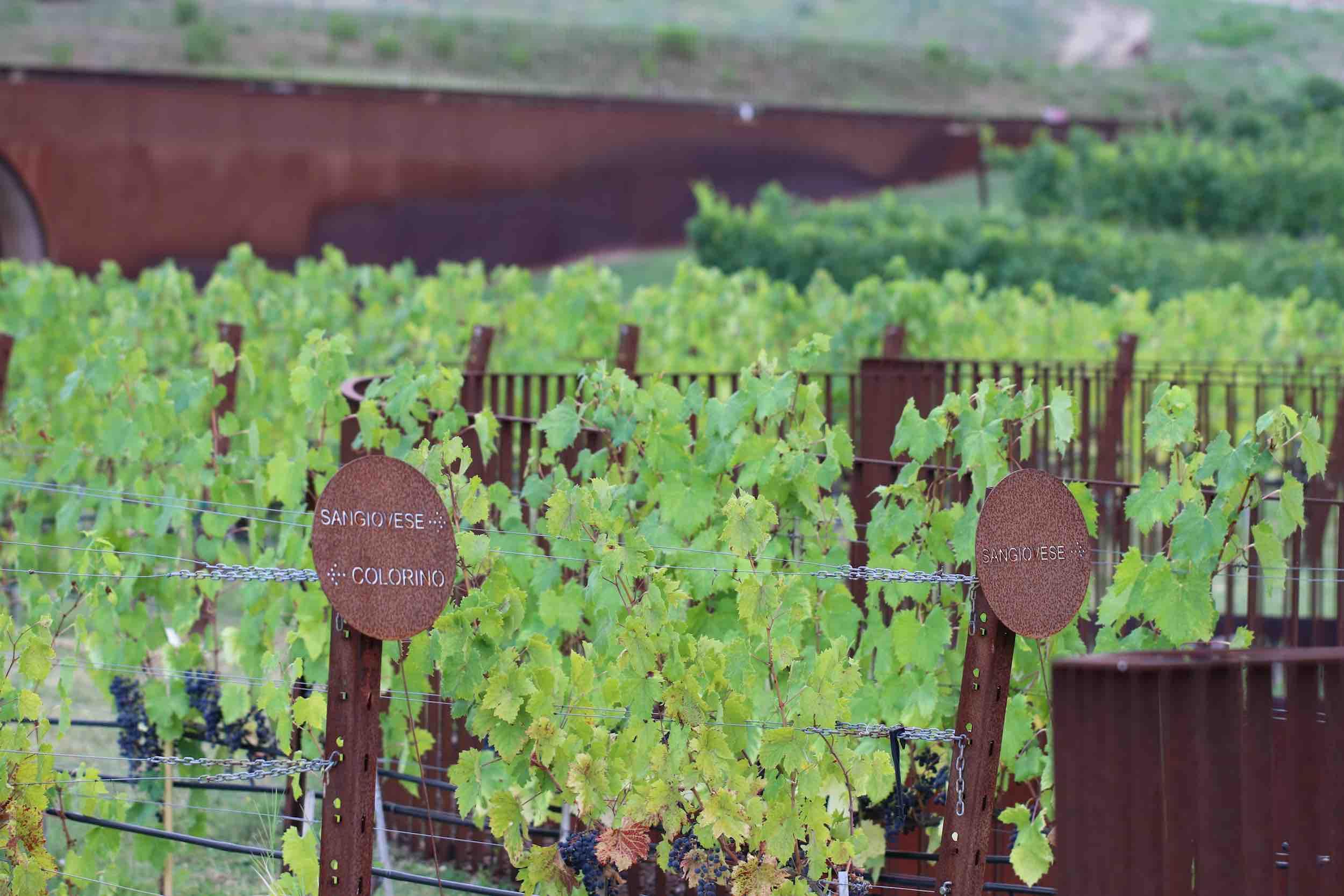 Rebenkunde auf dem Weingut Antinori in der Toskana